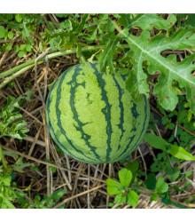 More about Meloun vodní Primaorange F1 - Citrullus lanatus - osivo melounu - 7 ks