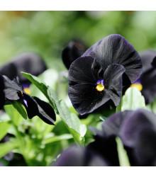 Maceška Mariposa Black F1 - Viola wittrockiana - osivo macešky - 20 ks