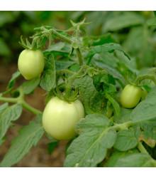 Rajče White Cherry - Lycopersicon esculentum - osivo rajčat - 7 ks