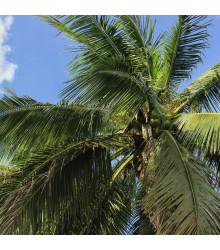 Palma madagaskarská - Beccariophoenix madagascariensis - osivo palmy - 2 ks