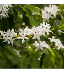 Kávovník arabský zakrslý - Coffea arabica nana - semena kávovníku - 5 ks