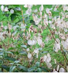Měsíčnice roční bílá - Lunaria annua - osivo měsíčnice - 40 ks