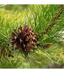 Borovice pokroucená - Pinus contorta - semena borovice - 7 ks-