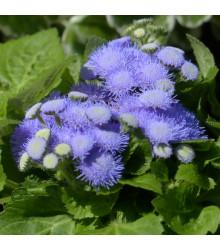 Nestařec modrý - Ageratum Aloha Blue - osivo nestařce - 20 ks
