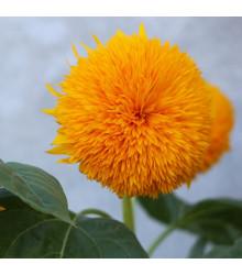 Slunečnice Teddy Bear - Helianthus annuus - osivo slunečnice - 15 ks