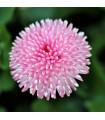 Sedmikráska chudobka Tasso růžová - Bellis perennis - osivo sedmikrásky - 50 ks