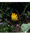 Úročník bolhoj - Anthyllis vulneraria - osivo úročníku - 30 ks
